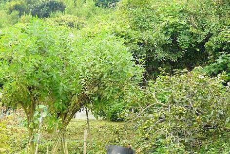 伸びた菊芋と垂れた柿