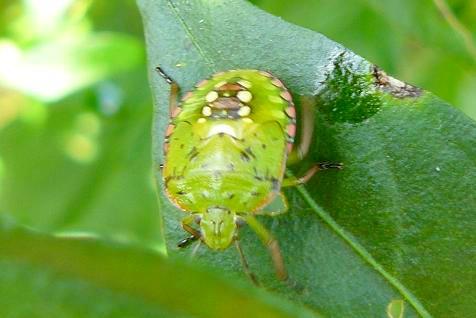 アオクサカメムシの幼虫