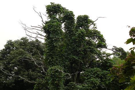 カラスの木もスゴイ!