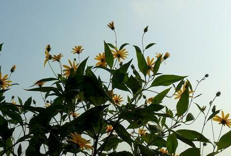 夕暮れの菊芋の花♪