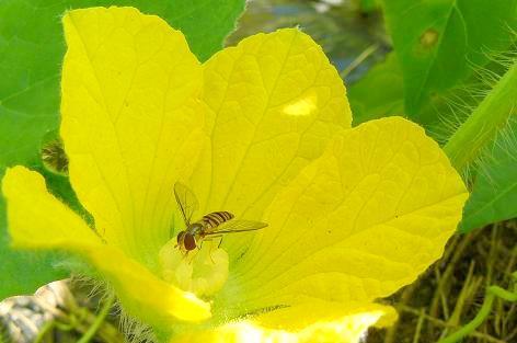 トウガの花と虫♪