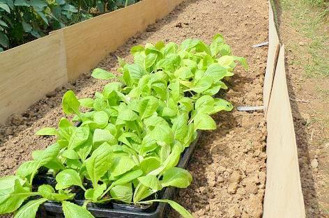 白菜苗と準備