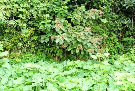 上段のさつま芋と臭木