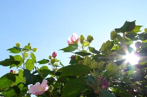 芙蓉の花と朝日♪