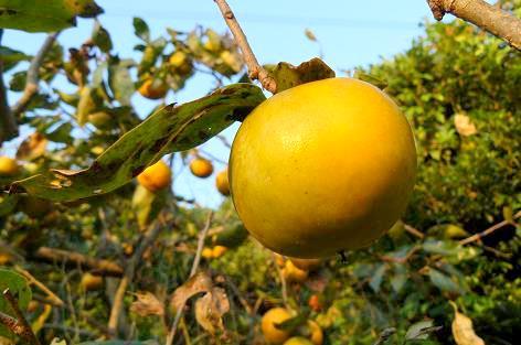 柿の実が色づいて・・