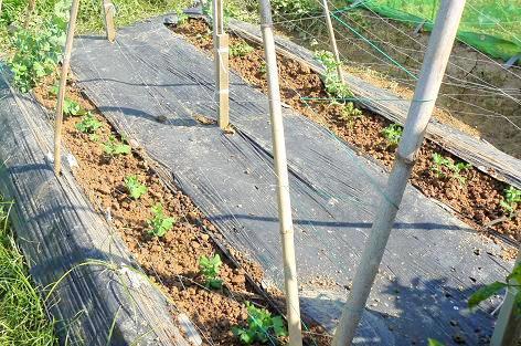 スナックエンドウを植えた♪
