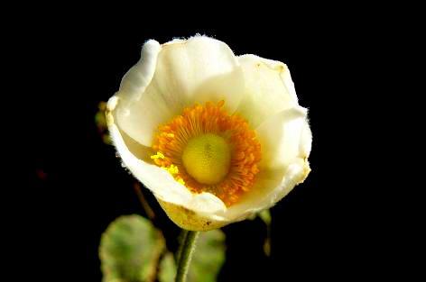 白い秋明菊だった♪