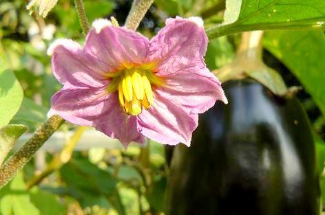 米ナスの花♪