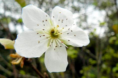 梨の花が咲いてる♪
