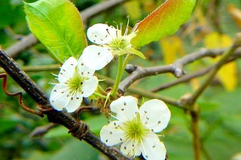 上の梨の木にも咲いてた♪