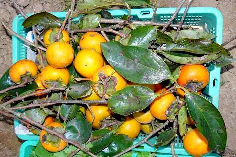 柿を収穫♪