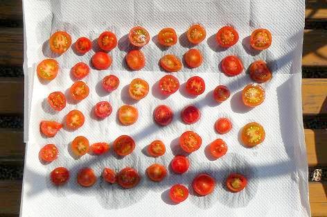 フルーツトマトを干す♪