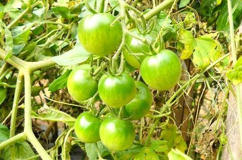 鈴なりのフルーツトマト♪