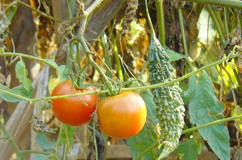 フルーツトマトとチビゴーヤ