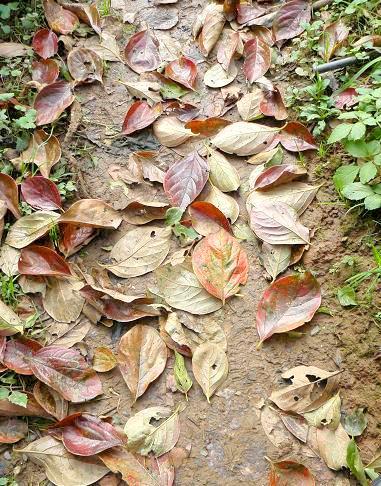 柿の落ち葉