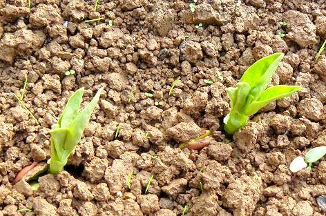 サラダソラマメの発芽