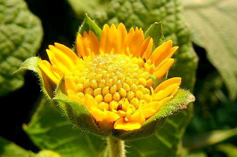 ヤーコンの花♪