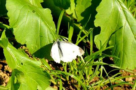 大根葉にモンシロ蝶