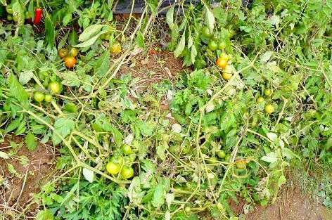 地を這うフルーツトマト