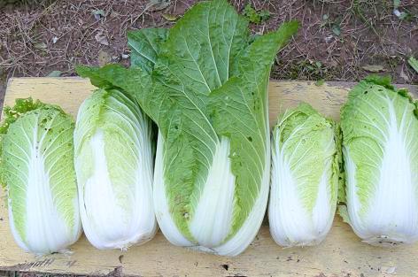 白菜の初収穫♪