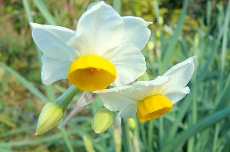 水仙の花♪