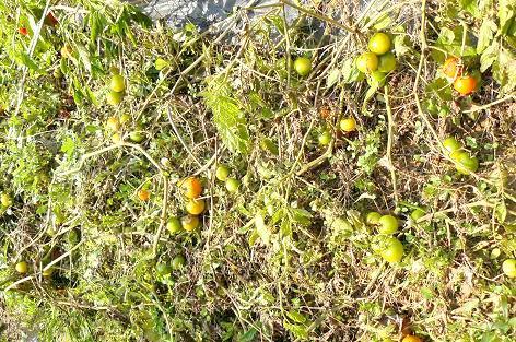 地を這うトマトたち♪