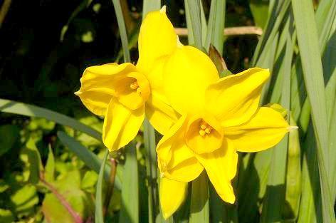 黄色い水仙も咲いた♪