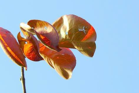 梨の葉の紅葉♪