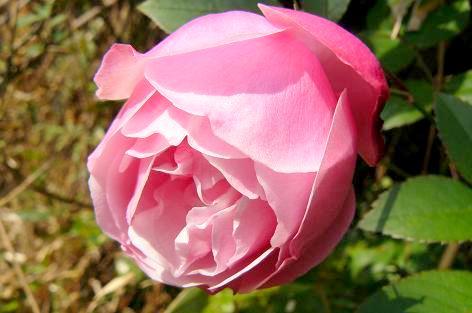 ピンクのバラ♪