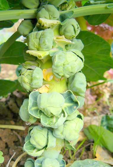 芽キャベツ2