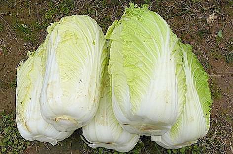 白菜収穫♪
