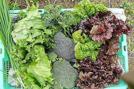 サラダ野菜の収穫♪
