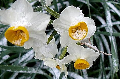 白の水仙も・・