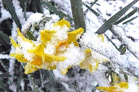 黄色の水仙も・・・