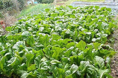 高菜を収穫♪