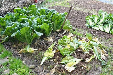 高菜を掘る♪