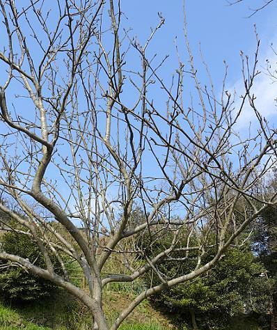 梨の木に・・・