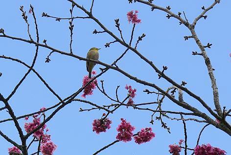 緋寒桜にメジロが♪