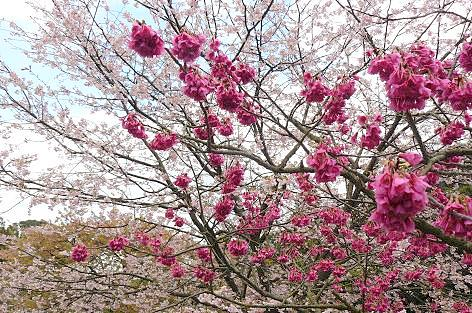 向こうには満開の桜が♪
