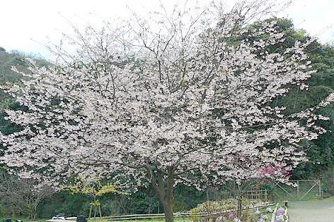 大寒桜は満開♪