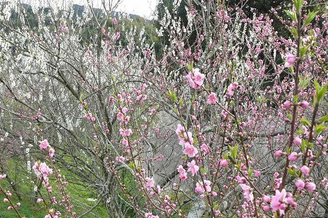 桃の咲き始めでした♪