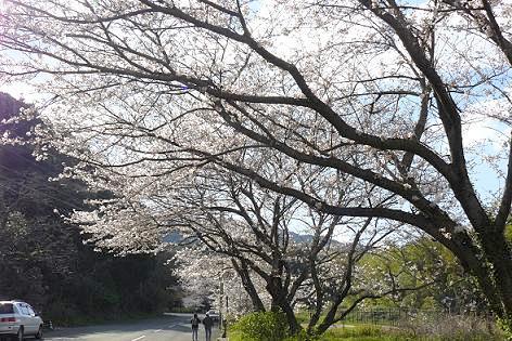 桜咲く山へ♪