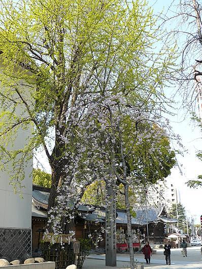 大きな銀杏の木としだれ桜