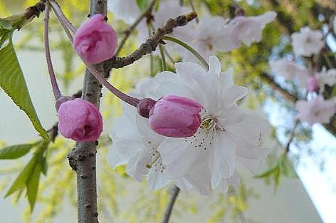 桜か桃か?