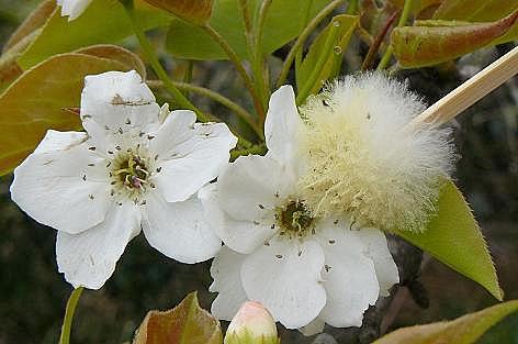 梨の花に♪