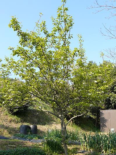 下の梨の木♪