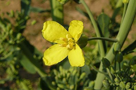 芽キャベツの花♪