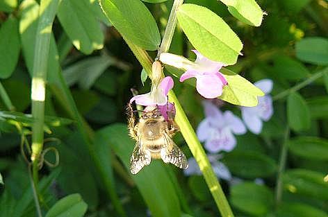 ミツバチ♪