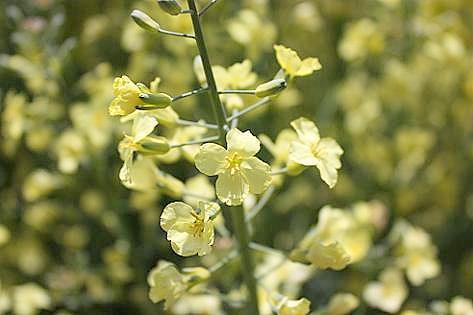 ブロッコリーの花♪