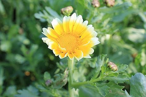 中葉春菊の花?